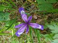 Iris Notha - Beautiful Blue Li...