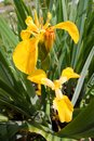 Iris pseudacorus beautiful yellow flowers, green leaves, grow and bloom in swamp, nature closeup macro photo Royalty Free Stock Photo