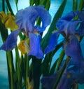 Iris in the rain Royalty Free Stock Photo