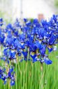 Iris sibirica i the siberian or siberian flag Stock Photos