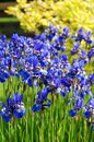 Iris sibirica vi the siberian or siberian flag Stock Image