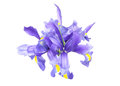 Iris in a white background Royalty Free Stock Photo