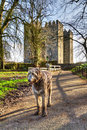 Irischer Wolfhound am Bunratty Schloss Stockfotografie