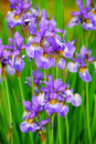 Irises Stock Photo
