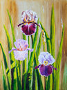 Irises Royalty Free Stock Image