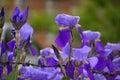 Irises Behind Barbed Wire