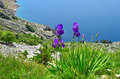 Irises on a mountain slope in spring Stock Photography