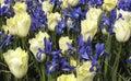 Irises tulpan Arkivfoton