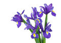 Irises on a white background bouquet of isolation Stock Image