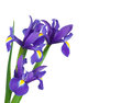 Irises on a white background bouquet of isolation Royalty Free Stock Images