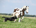 Irish cob mare runaway from the dog with foal Royalty Free Stock Photo