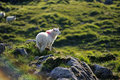 The irish countryside a sheep standing next to rocks in mountainous Royalty Free Stock Image
