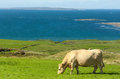 Irish cow on green meadow Royalty Free Stock Image