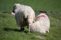 Irish mother sheep with a lamb Royalty Free Stock Images