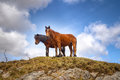 Irish mountain horses Stock Photography