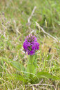 Irish purple wild orchid close up on the knockanore hill in ballybunion county kerry ireland Royalty Free Stock Photography
