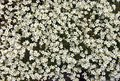 Irish Saxifrage Stock Photo