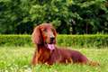 The Irish setter Royalty Free Stock Photography