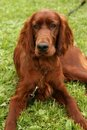 Irish setter Royalty Free Stock Photos