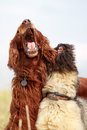 Irish setter and briard red Royalty Free Stock Photo