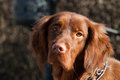 Irish setter dog Stock Photos