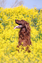 Irish setter in flowers Stock Image