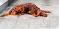 Irish Setter prostrate. Royalty Free Stock Photo
