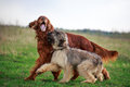 Irish setter red and briard Royalty Free Stock Photo