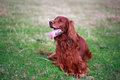 Irish setter red dog in field Stock Image