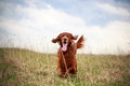 Irish setter red dog in field Royalty Free Stock Photography
