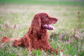 Irish setter red dog in field Royalty Free Stock Photo