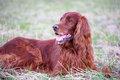 Irish setter red dog in field Royalty Free Stock Images