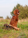 Irish setter with trophies Royalty Free Stock Image