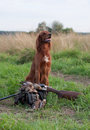 Irish setter with trophies Stock Images