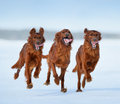 Irish setters in motion three Stock Photo