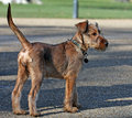Irish Terrier Royalty Free Stock Images