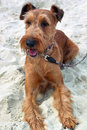 Irish terrier photo made in the afternoon on the beach in summer Stock Image