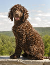 Irish water spaniel port of a sitting Royalty Free Stock Image