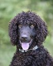 Irish water spaniel portrait of a Stock Images