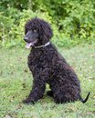 Irish water spaniel sitting in grass Stock Image