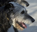 Irish wolfhound Royalty Free Stock Image