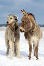Irish wolfhound dog and donkey Royalty Free Stock Image