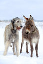 Irish wolfhound dog and donkey Stock Photos