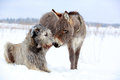 Irish wolfhound dog and donkey Royalty Free Stock Photos