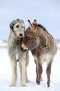 Irish wolfhound dog and donkey Stock Image