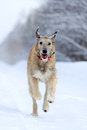 Irish wolfhound dog in winter Stock Photo