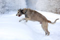 Irish wolfhound dog in winter Royalty Free Stock Photos