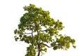 Iron wood tree is deciduous isolated on white background (Pyinka Royalty Free Stock Photo