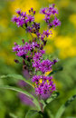 Ironweed tall vernonia gigantea growing in a field Stock Images