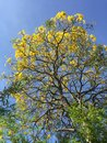 Irresistible summer s bright yellow flowers on tree against blue sky Stock Image